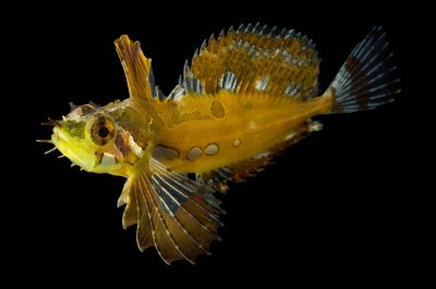 Picture of a silverspotted sculpin (Blepsias cirrhosus) at the Alaska SeaLife Center.