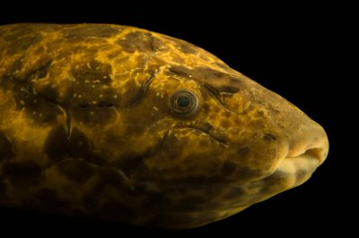Picture of a West African lungfish (Protopterus annectens) at the Budapest Zoo.