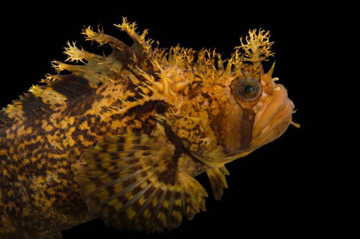 Photo: A decorated warbonnet (Chirolophis decoratus) at the Alaska SeaLife Center.