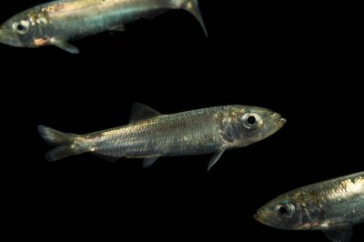 Photo: Pacific herring (Clupea pallasii) at the Alaska SeaLife Center.