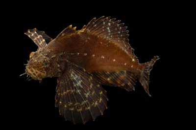 Photo: Crested sculpin, Blepsias bilobus, at the Alaska SeaLife Center.