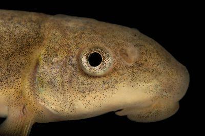 Photo: Bluehead sucker (Catostomus discobolus) at Lake Mead Hatchery, Nevada.