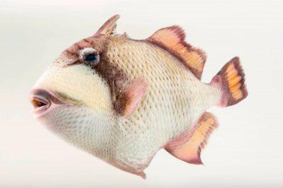 Picture of a titan triggerfish, Balistoides viridescens, at Shark Reef Aquarium.