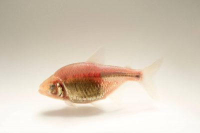 Picture of a mexican tetra (Astyanax mexicanus) at the Tulsa Zoo.