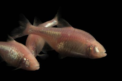 Picture of Mexican tetra (Astyanax mexicanus) at the Tulsa Zoo.