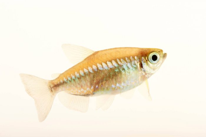 Picture of a Congo tetra (Phenacogrammus interruptus) at Pure Aquariums.