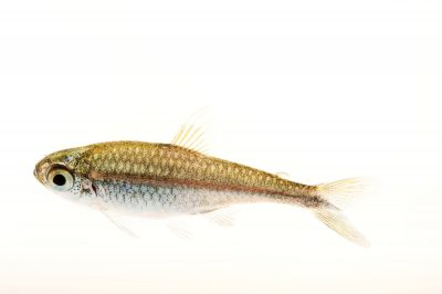 Picture of a gold tetra (Hemigrammus rodwayi) at Pure Aquariums.