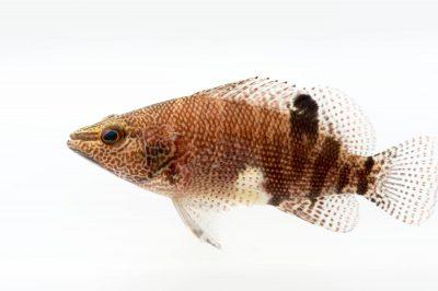 Photo: A belted sandfish (Serranus subligarius) at Gulf Specimen Marine Lab.