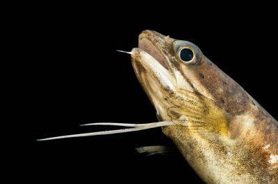 Photo: A Southern hake (Urophycis floridana) Gulf Specimen Marine Lab.