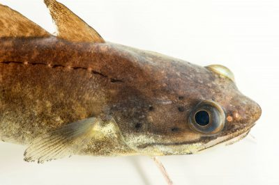 Photo: A Southern hake (Urophycis floridana) at Gulf Specimen Marine Lab.