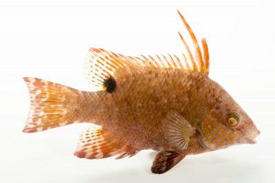 Photo: A juvenile hogfish (Lachnolaimus maximus) at Gulf Specimen Marine Lab.
