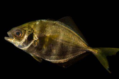 A bluntnose jack (Hemicaranx amblyrhynchus) at Gulf Specimen Marine Lab.