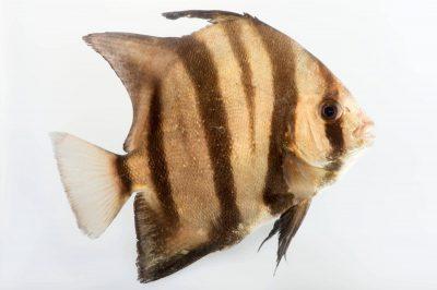 Photo: An Atlantic spadefish (Chaetodipterus faber) at Gulf Specimen Marine Lab.