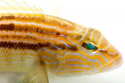 Photo: A sand perch (Diplectrum bivittatum) at Gulf Specimen Marine Lab.