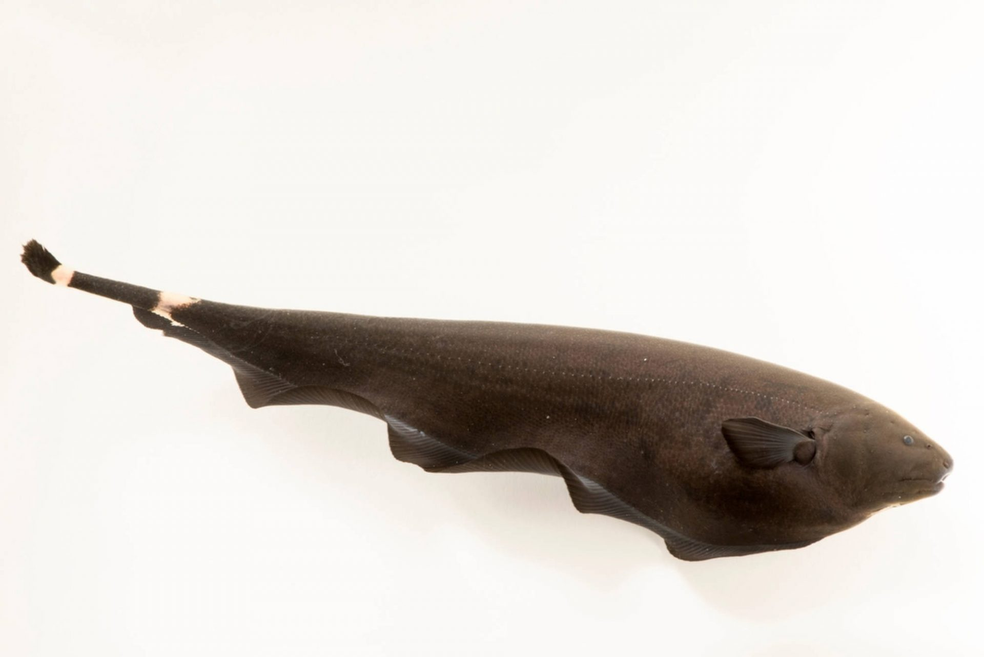 Photo: A black ghost knife fish (Apteronontus albifrons) at River Safari, part of Wildlife Reserves Singapore.