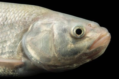 Photo: Utah chub (Gila atraria) at the Loveland Living Planet Aquarium in Draper, UT.