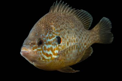 Photo: Pumpkinseed sunfish (Lepomis gibbosus) at the Loveland Living Planet Aquarium in Draper, UT.
