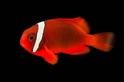 Photo: Tomato clownfish (Amphiprion frenatus) at the Oklahoma City Zoo.