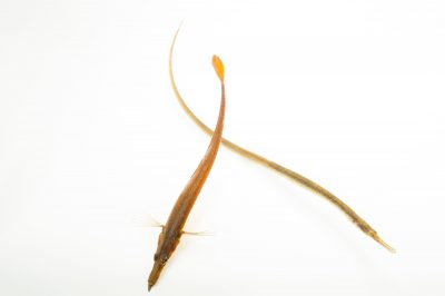 Photo: A bay pipefish, Syngnathus leptorhynchus, at the Alaska SeaLife Center