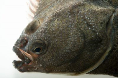 Photo: Starry flounder (Platichthys stellatus) at the Alaska SeaLife Center in Seward, AK.
