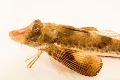 Photo: Slender sea robin (Prionotus scitulus) at Gulf Specimen Marine Lab and Aquarium.
