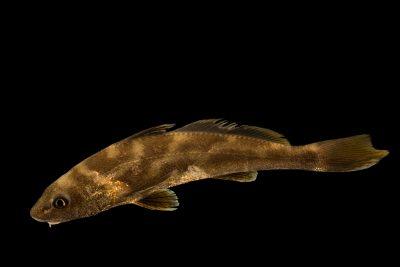 Photo: Southern kingfish (Menticirrhus americanus) at Gulf Specimen Marine Lab and Aquarium.