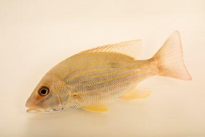 Photo: Lane snapper (Lutjanus synagris) at Gulf Specimen Marine Lab and Aquarium.