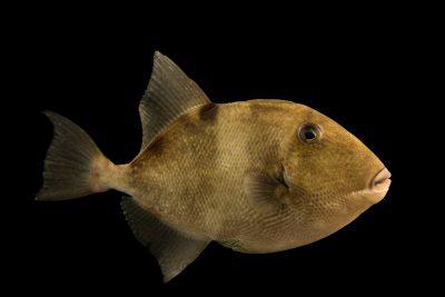 Photo: Grey triggerfish (Balistes capriscus) at Gulf Specimen Marine Lab and Aquarium.