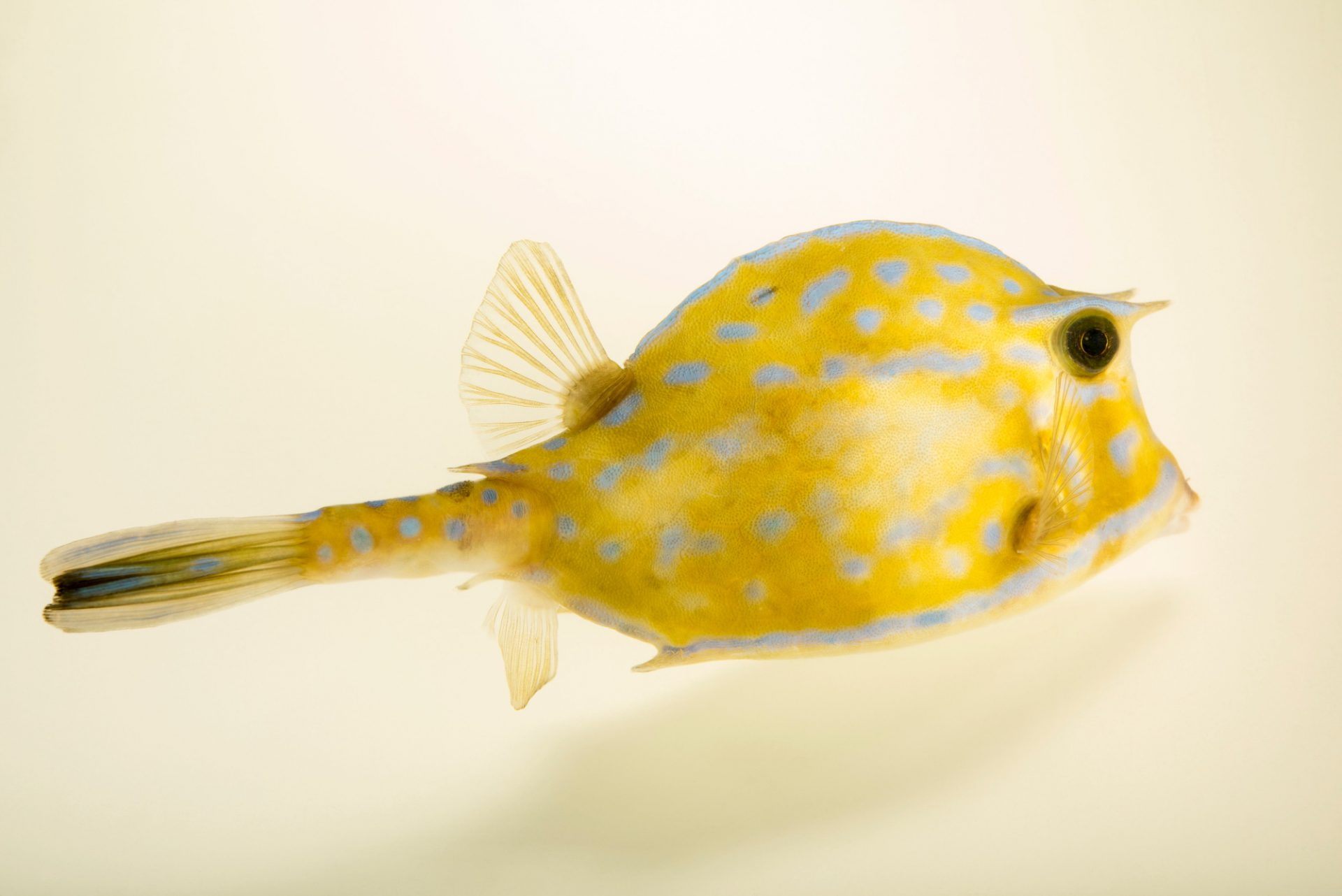 Photo: A scrawled cowfish (Lactophrys tricornis) at Gulf Specimen Marine Lab and Aquarium.