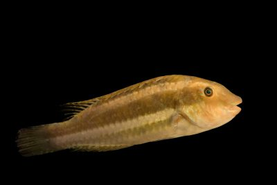 Photo: A juvenile bucktooth parrot fish (Sparisoma radians) at Gulf Specimen Marine Lab and Aquarium.