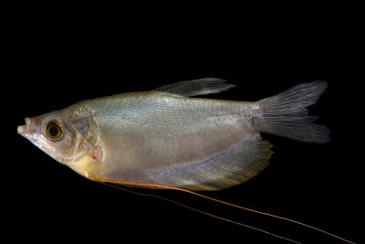 Photo: Moonlight gourami (Trichogaster microlepis) at Zoo Negara.