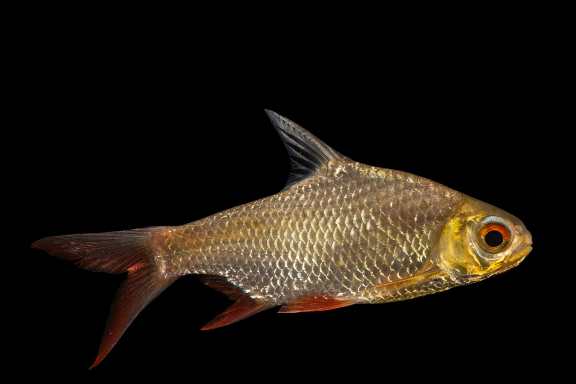 Photo: Red-tailed tinfoil barb (Barbonymus altus) at Zoo Negara.