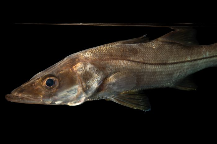 Photo: A common snook (Centropomus undecimalis) at the Conservancy of Southwest Florida.