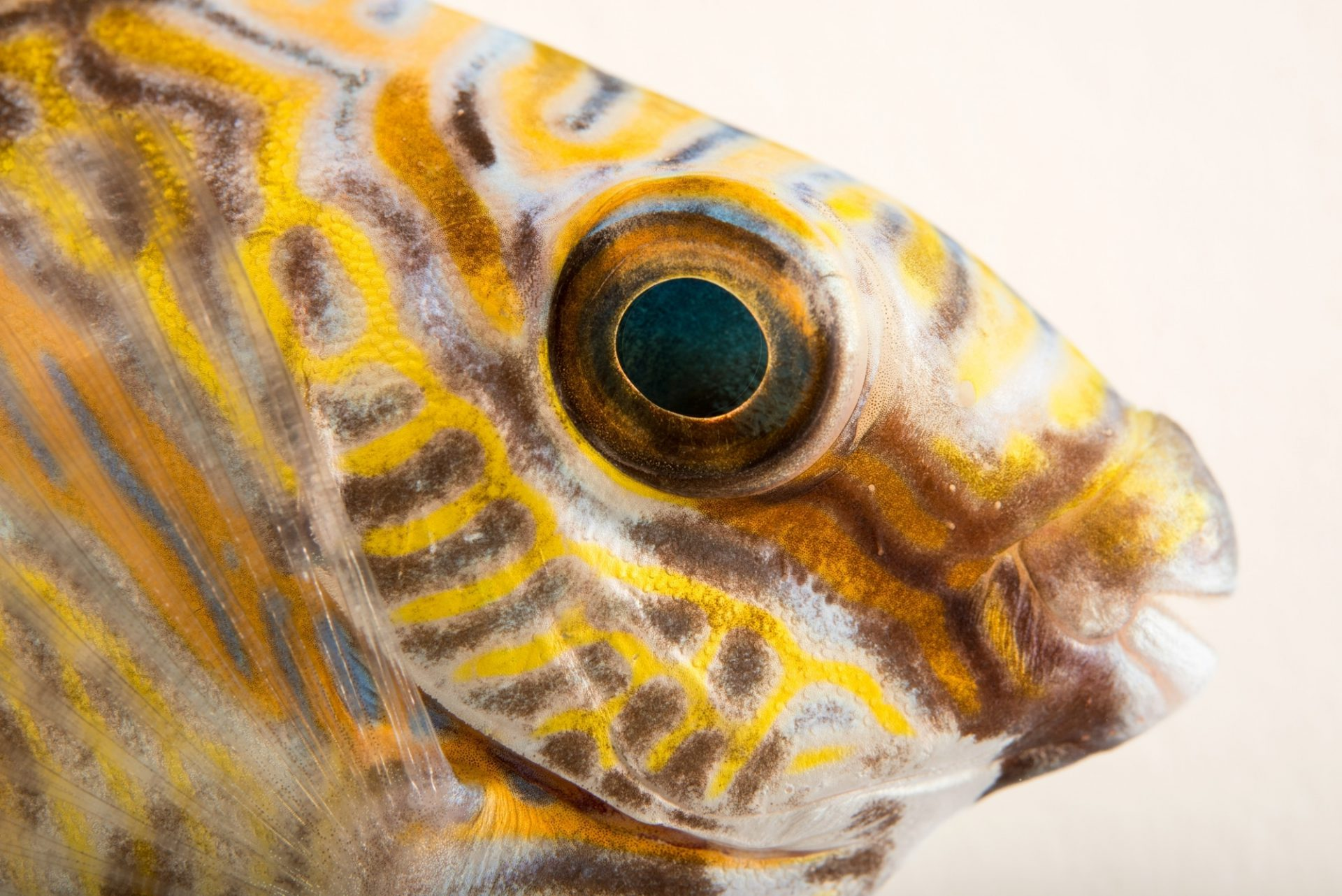 Photo: Scribbled rabbitfish (Siganus doliatus) from Gulf Specimen Marine Laboratories.
