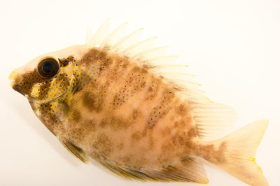 Photo: Blue spotted spinefoot/rabbitfish (Siganus corallinus) from Gulf Specimen Marine Laboratories.