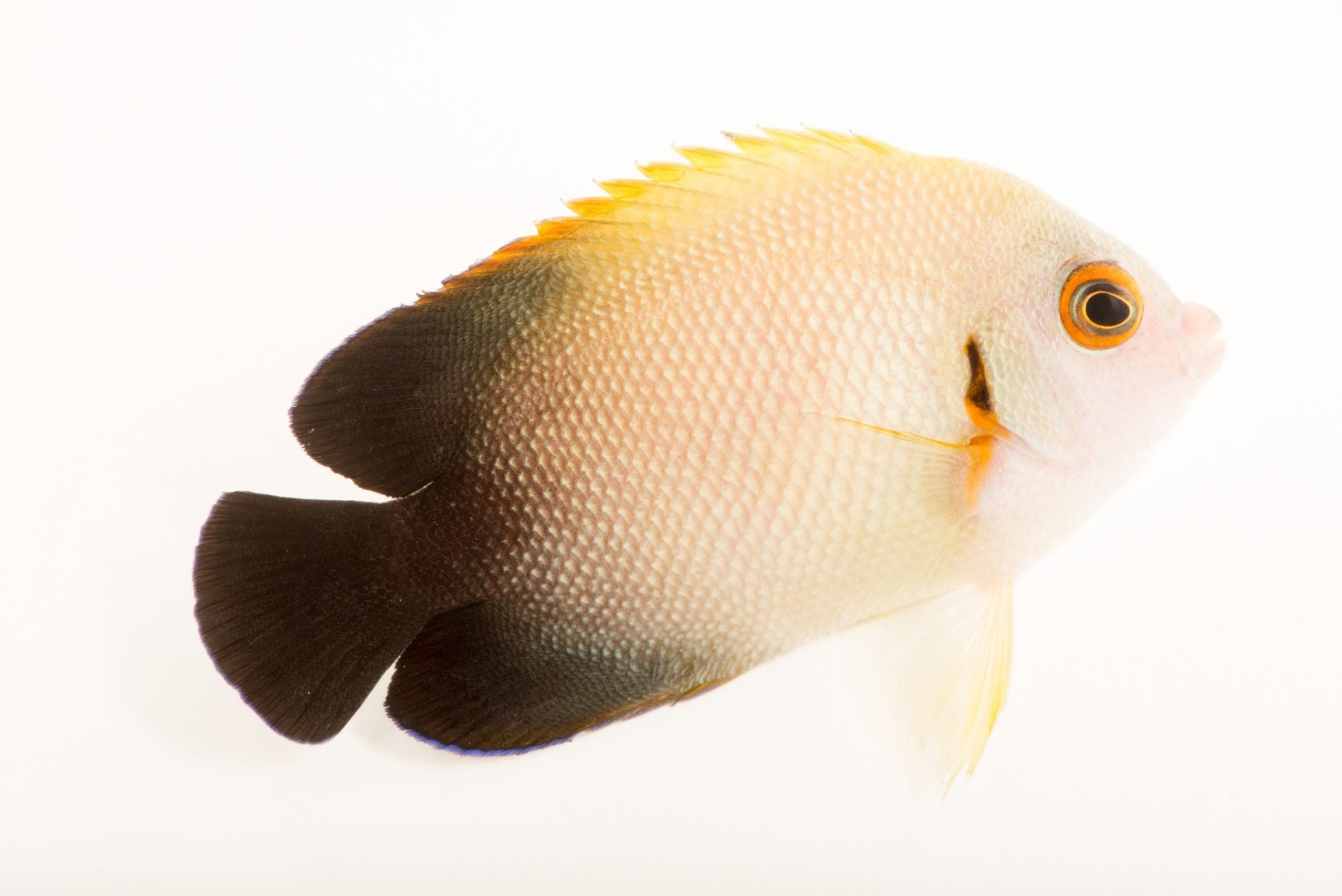 Photo: Half-black angelfish (Centropyge vroliki) from Gulf Specimen Marine Laboratories.