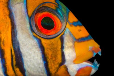 Photo: Harlequin Tusk (Choerodon fasciatus) at Pure Aquariums.