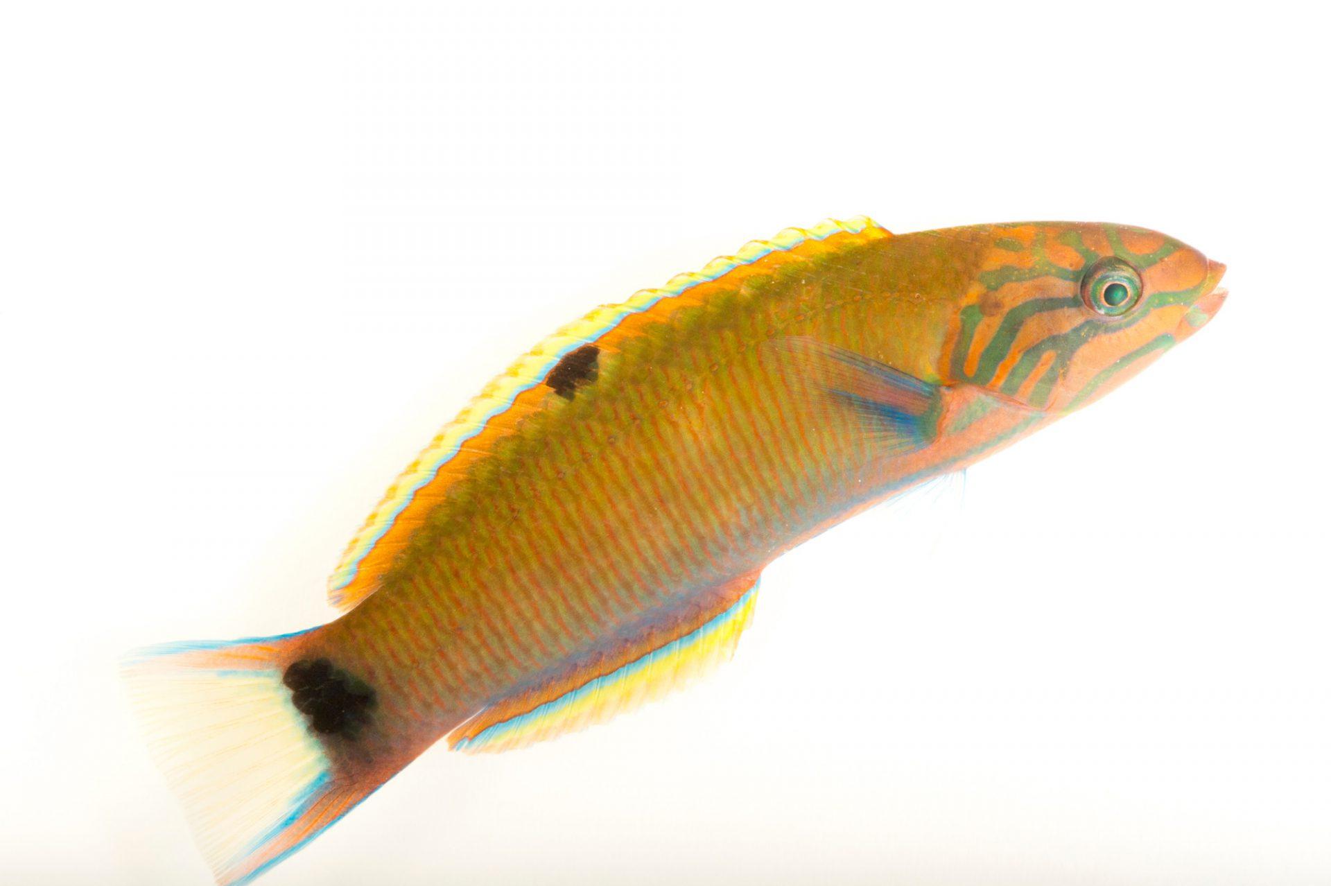 Photo: Lyretail Wrasse (Thalassoma lunare) from Pure Aquariums.