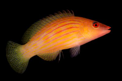 Photo: Eight-lined Wrasse (Pseudocheilinus octotaenia) from Pure Aquariums.