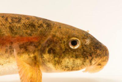 Photo: Rio Grande Sucker (Catostomus plebeius) at the Pajarito Environmental Education Center.