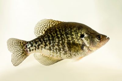 Photo: A white crappie (Pomosus annularis) at the Oklahoma City Zoo.