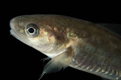 Photo: Saffron cod (Eleginus gracilis) at the Alaska SeaLife Center.