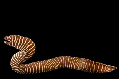Photo: Zebra moray eel (Gymnomuraena zebra) at the Oklahoma City Zoo.