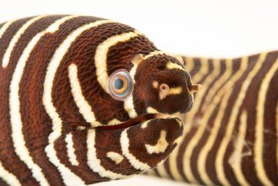 Photo: Zebra moray eel (Gymnomuraena zebra) at the Oklahoma City Zoo.