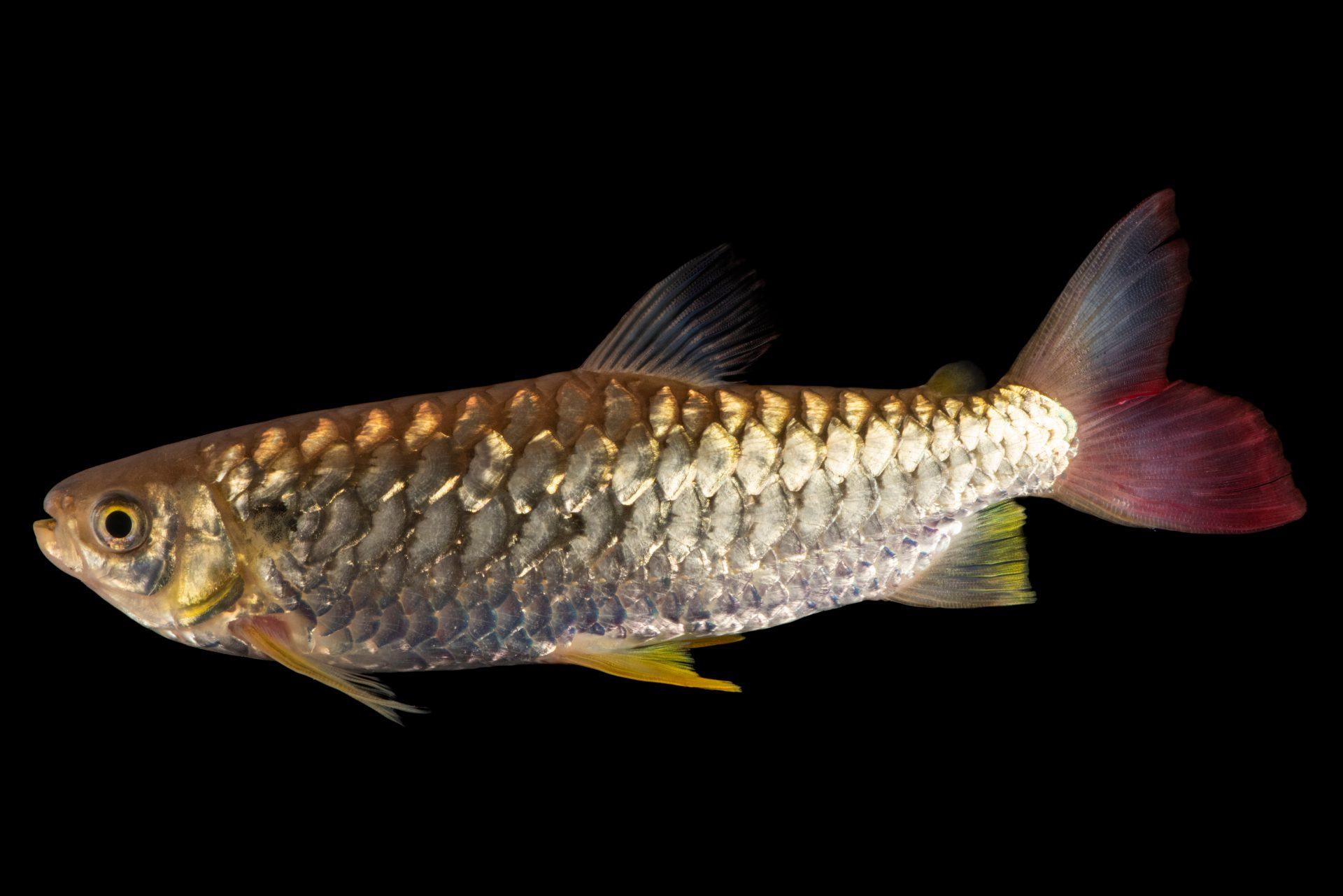 Photo: A male yellowfin chalceus (Chalceus erythrurus) at the Dallas World Aquarium.