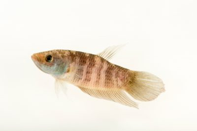 Photo: Penang betta (Betta pugnax) from a private collection.