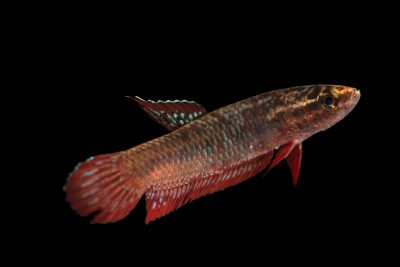 Photo: A gourami (Betta coccina) from a private collection.