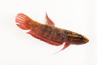 A scarlet betta (Betta coccina) from a private collection. This species is from Malaysia and Indonesia.