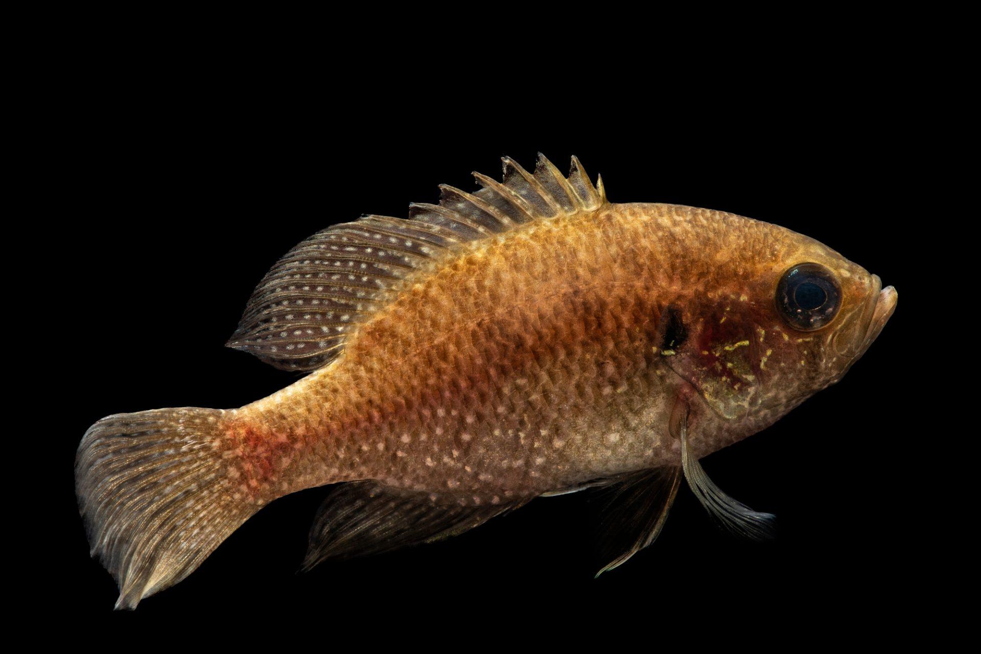 Photo: A bluespotted sunfish (Enneacanthus gloriosus) Fish Biodiversity Lab, at Auburn University, Auburn, Alabama.