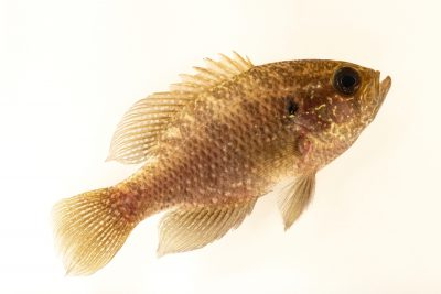 Photo: A bluespotted sunfish (Enneacanthus gloriosus) Fish Biodiversity Lab, at Auburn University, Auburn, Alabama.